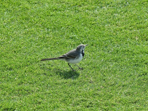 P1050570%20White%20Wagtail%20winter%20plumage-%20on%20the%20lawn%20of%20our%20ship%20at%20sea_w.JPG