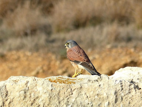 P1020608%20Male%20Kestrel%20at%20Paphos%20Tombs%20of%20the%20Kings%20archeological%20site_w.JPG