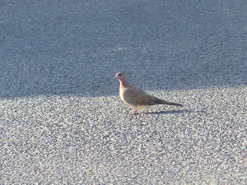 P1040351%20Laughing%20dove%20foraging%20on%20road-Kouklia%20village_w.JPG