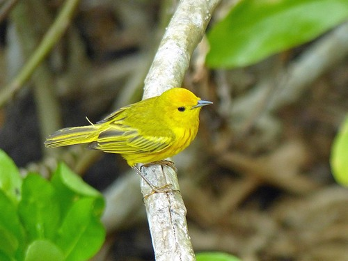 P1030312%20Yellow%20Warbler%20%28Cuban%20race%29%20-%20%20Grand%20Cayman%20with%20Geddes_w.JPG