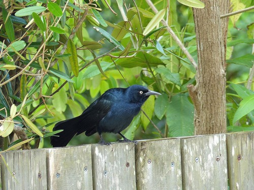 P1030348%20male%20Greater%20Antillean%20Grackle-%20Grand%20Cayman%20with%20Geddes_w.JPG