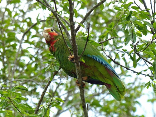 P1030374%20Rose-throated%20Parrot%20%28Cayman%20islands%20race%29-%20Grand%20Cayman%20with%20Geddes_w.JPG