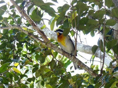 P1030381%20Western%20Spindalis%20or%20Stripe-headed%20Tanager-Grand%20Cayman%20with%20Geddes_w.JPG