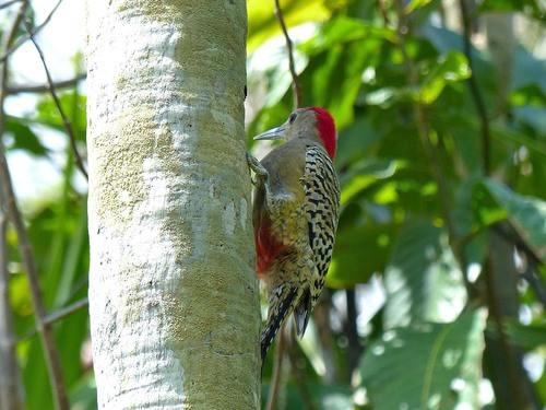 P1030388%20male%20West%20Indian%20Woodpecker%20making%20a%20nest%20hole-Botanic%20Gardens%20Grand%20Cayman_w.JPG