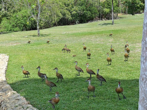 P1030406%20West%20Indian%20Whistling%20ducks-%20Grand%20Cayman%20with%20Geddes_w.JPG