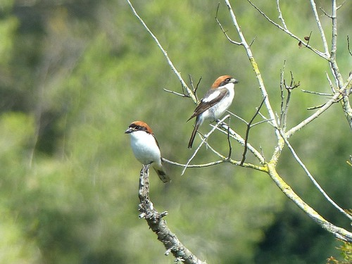 08%20P1010852%20pair%20of%20Woodchat%20Shrikes%20at%20Son%20Bou_w.JPG