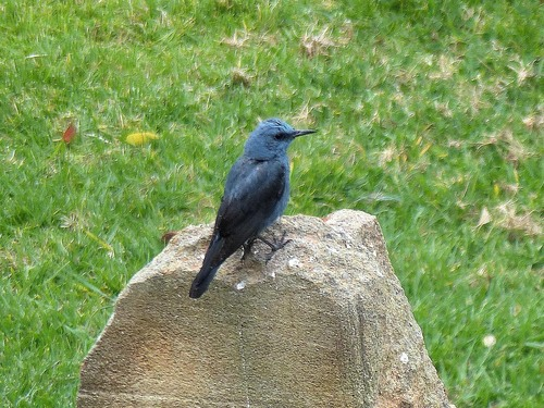 12%20P1010677%20male%20Blue%20Rock%20Thrush%20in%20hotel%20grounds%20Cala%20en%20Bosc_w.JPG