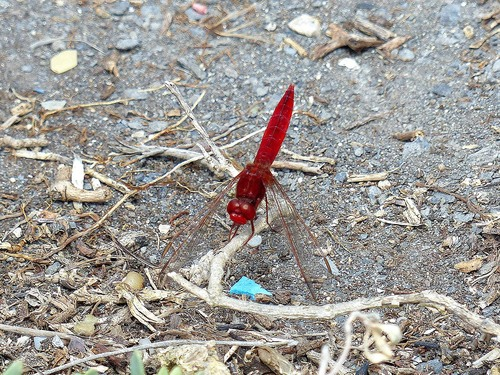 20%20P1010898%20male%20Red-veined%20Darter%20dragonfly%20%28Sympetrum%20fonscolombii%29%20at%20Es%20Grau%20reserve_w.JPG