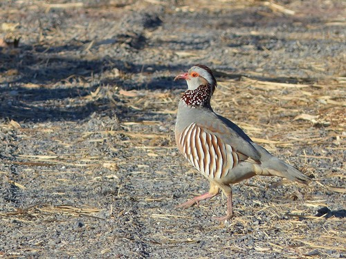060%20Barbary%20partridge%20on%20Abama%20golf%20course%20near%20San%20Juan%20Jan%202015_w.JPG