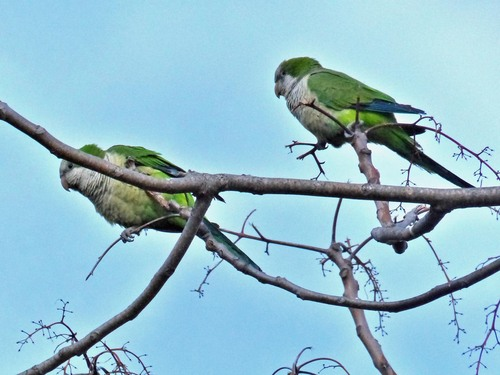 235A%20Monk%20parakeets-%20near%20Botanical%20gardens%20Torremolinas%20March%202015_w.JPG