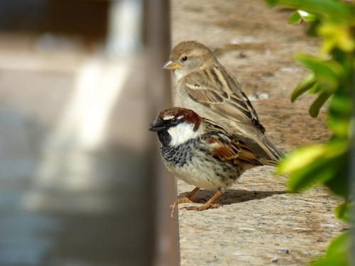 P1040378%20Spanish%20sparrows%20in%20hotel%20grounds_w.JPG