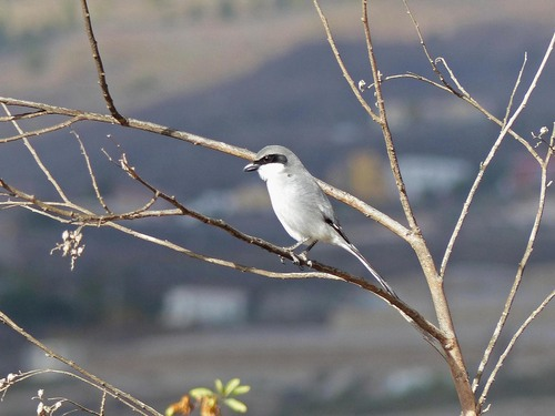 P1040411%20Great%20Grey%20Shrike%20-%20near%20Abama%20golf%20course_w.JPG