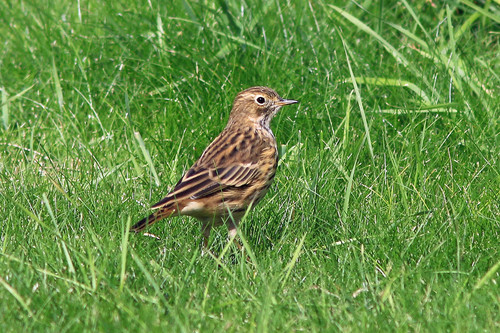 Hilbre%20%2884%29%20Meadow%20Pipit_w.JPG