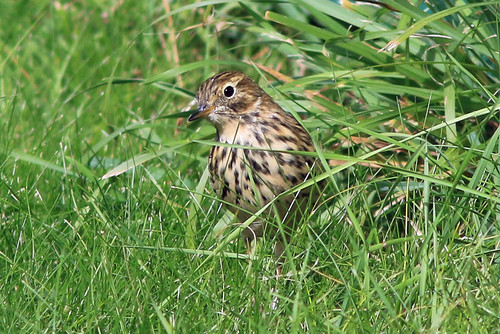 Hilbre%20%2886%29%20Meadow%20Pipit_w.JPG