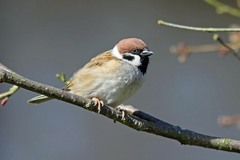 Carsington%20%2810%29%20Tree%20Sparrow_w.JPG
