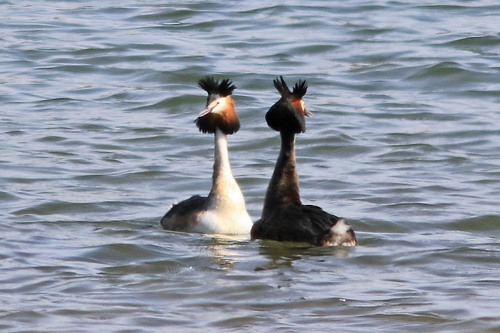 Carsington%20%2854%29%20Great%20Crested%20Grebes%20displaying_w.JPG