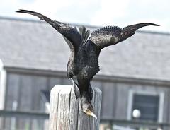 7-15%20cormorant%20stretching%20wings.jpg