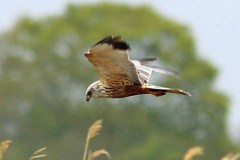 EastAnglia%20%28074%29%20Marsh%20Harrier_.JPG