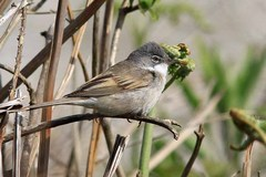 EastAnglia%20%28195%29%20Whitethroat_.JPG