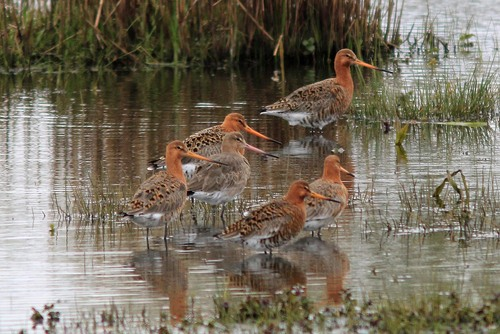 Leighton%20Moss%20%28002%29%20Black-tailed%20Godwits_w.JPG