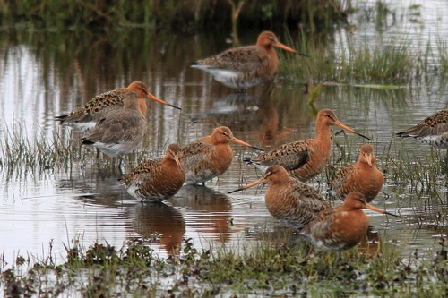 Leighton%20Moss%20%28013%29%20Black-tailed%20Godwits_w.JPG