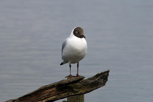 Leighton%20Moss%20%28071%29%20Black-headed%20Gull_w.JPG