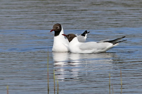 Leighton%20Moss%20%28081%29%20Black-headed%20Gulls_w.JPG