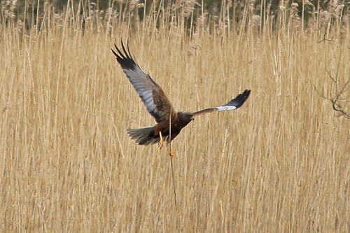 Leighton%20Moss%20%28115%29%20Marsh%20Harrier%20%28male%29_w.JPG