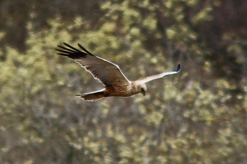 Leighton%20Moss%20%28126%29%20Marsh%20Harrier%20%28male%29_w.JPG