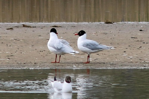 Leighton%20Moss%20%28140%29%20Mediterranean%20Gulls%20%28%26%20Black-headed%20Gull%29_w.JPG