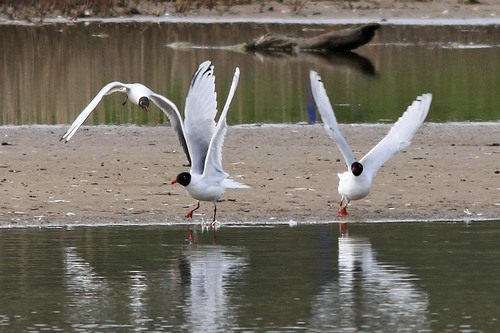 Leighton%20Moss%20%28143%29%20Mediterranean%20Gulls%20%28%26%20Black-headed%20Gull%29_w.JPG