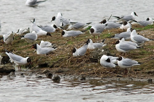 Leighton%20Moss%20%28155%29%20Black-headed%20Gull%20colony_w.JPG