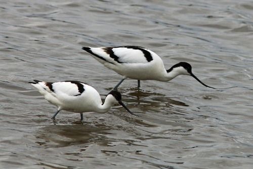 Leighton%20Moss%20%28170%29%20Avocets_w.JPG