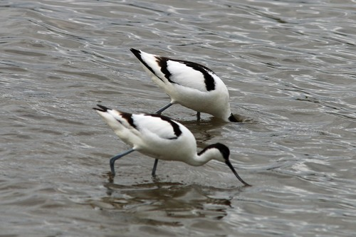 Leighton%20Moss%20%28171%29%20Avocets_w.JPG