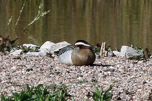 Marbury1%20%2801b%29%20Garganey_w.JPG