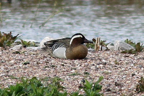 Marbury1%20%2809%29%20Garganey_w.JPG