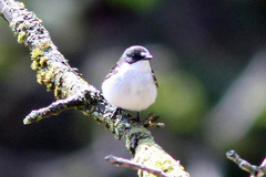 GoytValley%20%281%29%20Pied%20Flycatcher.JPG