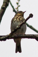 GoytValley%20%287%29%20Tree%20Pipit2.JPG