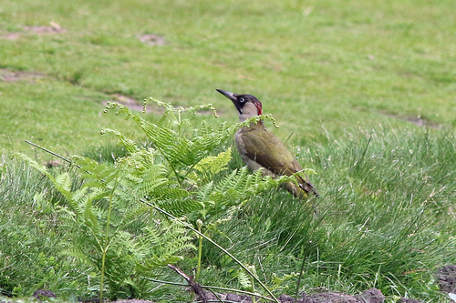 Dunham%20%2816%29%20Green%20Woodpecker.JPG