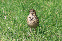 Hilbre%20%2891%29%20Meadow%20Pipit_w.JPG