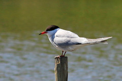 Common%20Tern_w.JPG