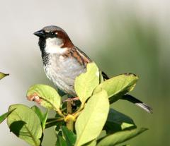 Sparrow%20%28House%20Sparrow%2014%29.jpg