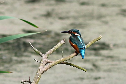 PenningtonFlash%20%2807%29%20Kingfisher_w.JPG