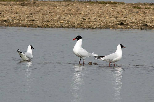 MiddletonLakes%20%2821%29%20Mediterranean%20Gull%20%26%20Black-headed%20Gulls_.JPG