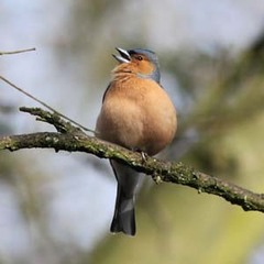 MiddletonLakes%20%2806%29%20Chaffinch%20singing_s.JPG