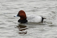 Norfolk%20%28022%29%20Pochard_w.JPG