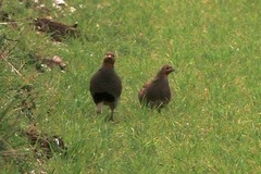 Norfolk%20%28049%29%20Grey%20Partridges_w.JPG