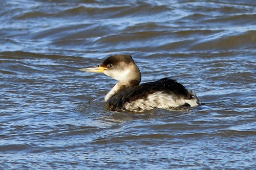 Norfolk%20%28057%29%20Red-necked%20Grebe_w.JPG