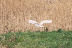 Norfolk%20%28062%29%20Barn%20Owl_w.JPG