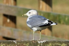 Norfolk%20%28083%29%20Common%20Gull_w.JPG